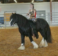 GG Johnny Cash, 2011 Gypsy Vanner Horse stallion