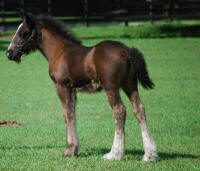 GG King of Diamonds, 2013 Gypsy Vanner Horse colt