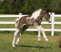 Josie filly, 2009 Gypsy Vanner Horse foal