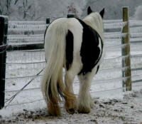 Juliette, imported Gypsy Vanner Horse mare