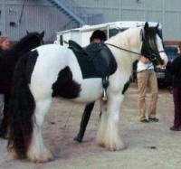 The King's Spirit, 2005 Gypsy Vanner Horse stallion