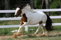 Kaelana, 2008 imported Gypsy Vanner Horse filly