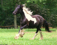 VV Kalista, 2006 Gypsy Vanner Horse filly
