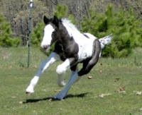 Feathered Gold Kalypso, 2012 Gypsy Vanner Horse colt