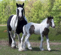 Feathered Gold Keefe, 2008 Gypsy Vanner Horse colt