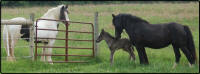 KD Too Hot To Spot, 2009 Gypsy Vanner Horse colt