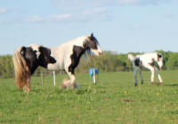 WW Keeva, 2009 Gypsy Vanner Horse filly