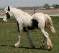WCF Kewpie Doll, 2009 Gypsy Vanner Horse filly