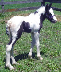 The Queen's Heiress, 2006 Gypsy Vanner Horse filly