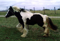 The Queen's Heiress, 2006 Gypsy Vanner Horse mare
