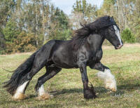 GG King of The Blues, 2011 Gypsy Vanner Horse stallion