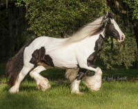 King's Queen, 2004 Gypsy Vanner Horse mare