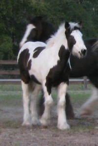 Kissy, 2007 Gypsy Vanner Horse filly