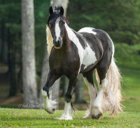 BPF The Cat's Meow, 2012 Gypsy Vanner Horse filly