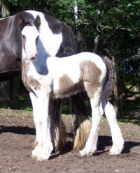 Feathered Gold Kolbe, 2008 Gypsy Vanner Horse colt