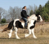 Feathered Gold Kolbe, 2008 Gypsy Vanner Horse gelding