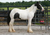 LS King's Ransom, 2007 Gypsy Vanner Horse colt