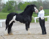 Comanche, imported Gypsy Vanner Horse stallion