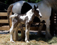 Cerise, 2008 Gypsy Vanner Horse filly
