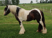 The Alchemist, 2008 imported Gypsy Vanner Horse stallion
