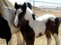 Gold Rush's Lady Sophia, 2007 Gypsy Vanner Horse filly