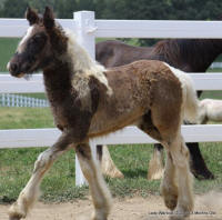 Lady Warlock, 2010 Gypsy Vanner Horse filly