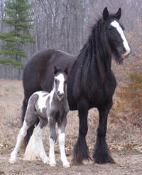 Feathered Gold Legendary Lady, 2010 Gypsy Vanner Horse filly
