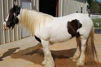 Lady Blue, imported Gypsy Vanner Horse mare