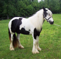 Layla Rose, 2007 Gypsy Vanner Horse filly
