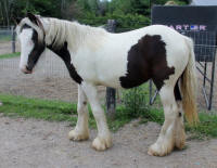 Kastle Rock's Lalaina, 2014 Gypsy Vanner Horse filly