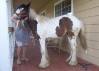 Dunrovin Lalique, 2008 Gypsy Vanner Horse filly