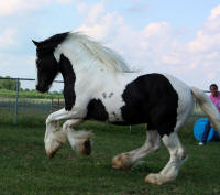 Ace's Sir Lancelot, 2004 Gypsy Vanner Horse stallion