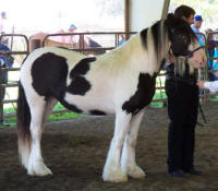 Lasair, Gypsy Vanner Horse filly