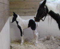 Addie, first Gypsy Vanner Horse foal of 2004