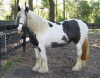 Laurie Kittl, imported 2004 Gypsy Vanner Horse mare