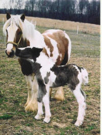 Leane, Gypsy Vanner Horse filly