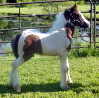 Legacy, 2010 Gypsy Vanner Horse colt