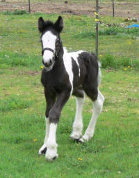 Sable's Legacy, 2010 Gypsy Vanner Horse colt