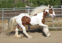 North Hollow Lexi, 2005 Gypsy Vanner Horse mare