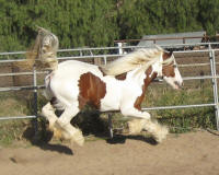 North Hollow Vintage Lace, 2005 Gypsy Vanner Horse mare