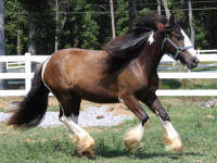 Lexis, 2008 imported Gypsy Vanner Horse filly