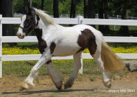 Lexlin's Above the Law, 2012 Gypsy Vanner Horse gelding