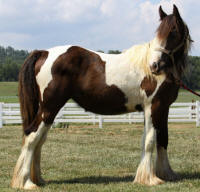 Lexlin's Brilliance, 2010 Gypsy Vanner Horse filly