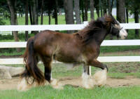 Lexlin's Cha Ching, 2011 Gypsy Vanner Horse gelding