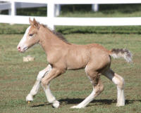 Lexlin's Cherokee Gold, 2015 Gypsy Vanner Horse filly
