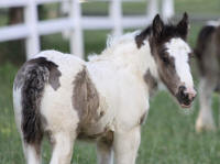 Lexlin's Eloquence, 2012 Gypsy Vanner Horse filly