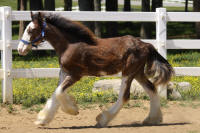 Lexlin's Inception, 2013 Gypsy Vanner Horse colt
