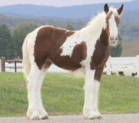 Lexlin's Mariabella, 2012 Gypsy Vanner Horse filly