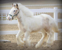 Lexlin's Moulin Rouge, 2013 Gypsy Vanner Horse filly