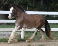 Lexlin's Mystic Dancer, 2012 Gypsy Vanner Horse filly